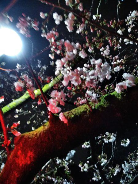 桜は2月から咲く